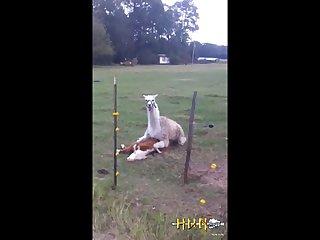 4.lama Fucking Goat