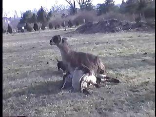 23.llama Fucking Goat